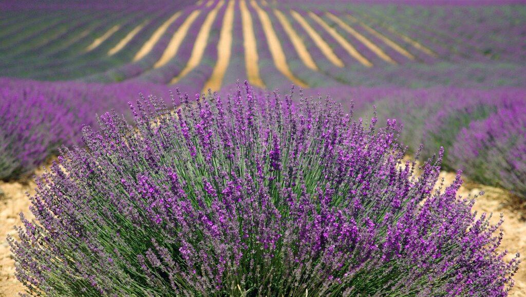 lavenders, flowers, field
